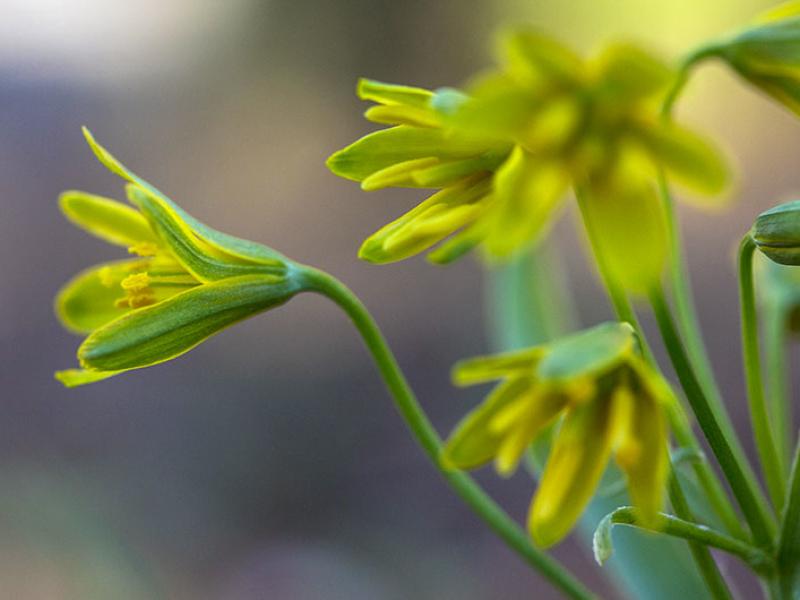 Diese gelben Lilien (Gagea) werden Gelbstern genannt, wir haben sie im Frühjahr nahe vom Laimer Tor entdeckt.