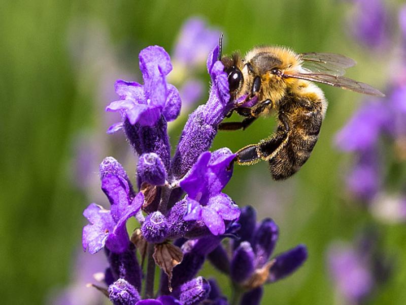 Eine Biene am Lavendelstrauch.