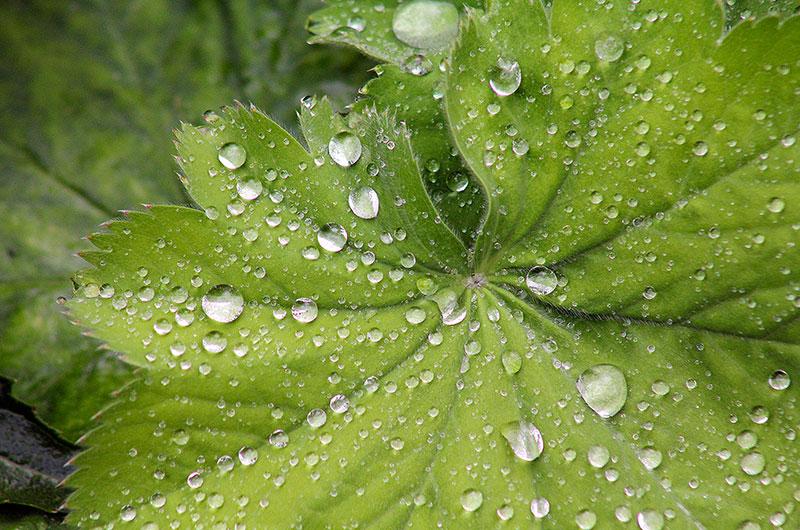 Wassertropfen auf großen Pflanzenblättern, auch bei mäßigem Wetter finden sich Motive.