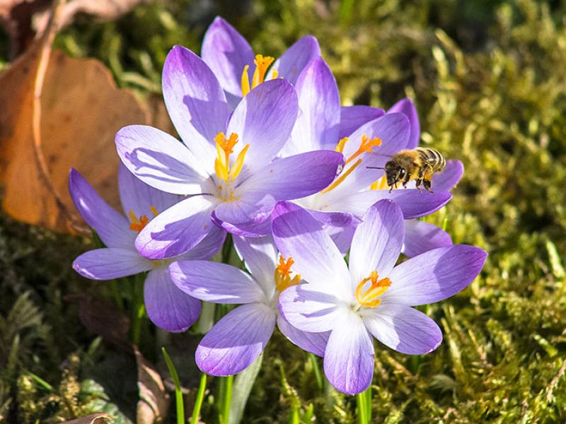 Die ersten Bienen sammeln Nektar.