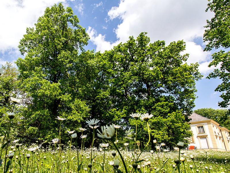 Blühende Wiese mit Margeriten hinter der Badenburg.