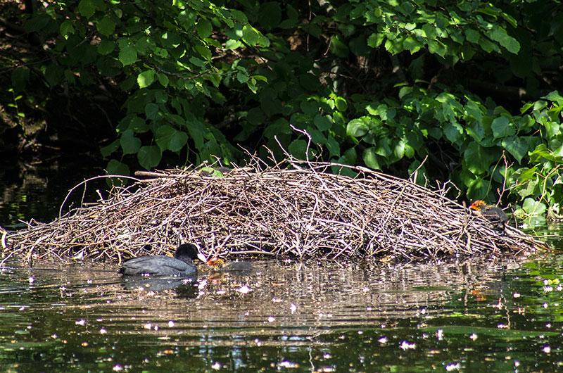 Blässhühner (Fulica atra) bauen imposante Nester.