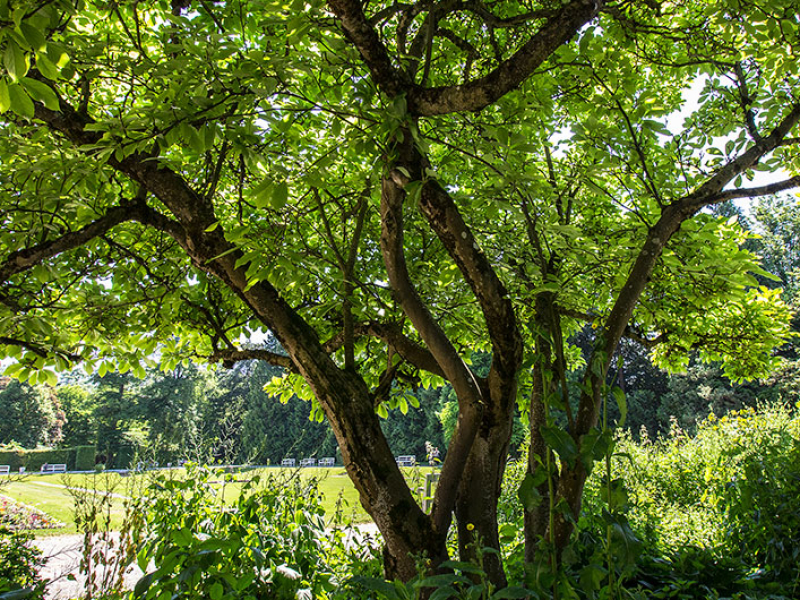Der Manolienbaum ist auch im Juni eine Augenweide.