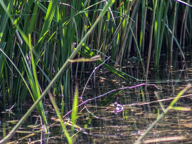 Ein Teichfrosch (Pelophylax esculentus) sitzt träge beim Schilfgürtel des Pagodenburger Sees. Hier leben auch Ringelnattern, die sich überwiegend von Amphibien ernähren.