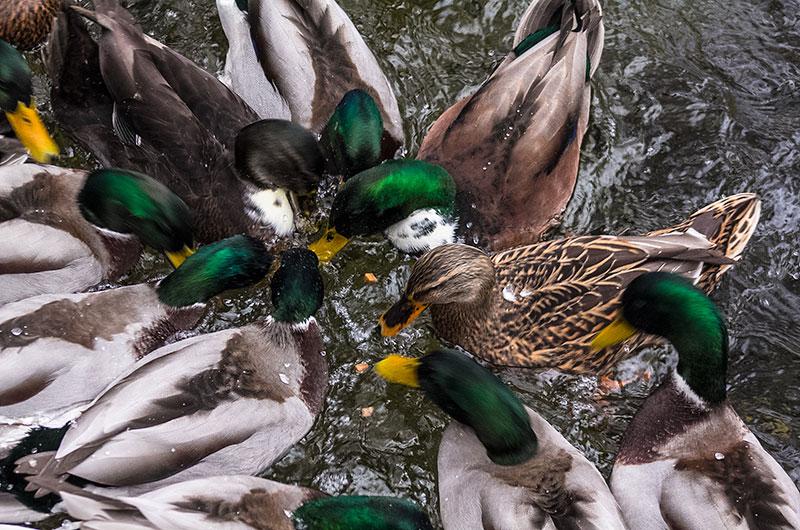Entenfütterung: Was die meisten nicht wissen, Brot ist für Wasservögel ungeeignet.