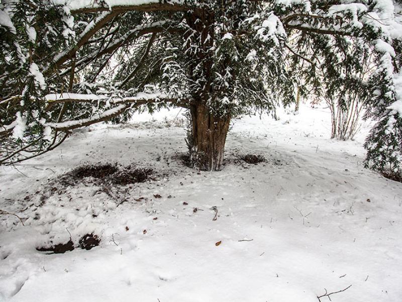 Unter den ausladenden Ästen der Nadelbäume an der Amalienburg, fanden wir im Winter Schlafmulden die von Rehen stammten.