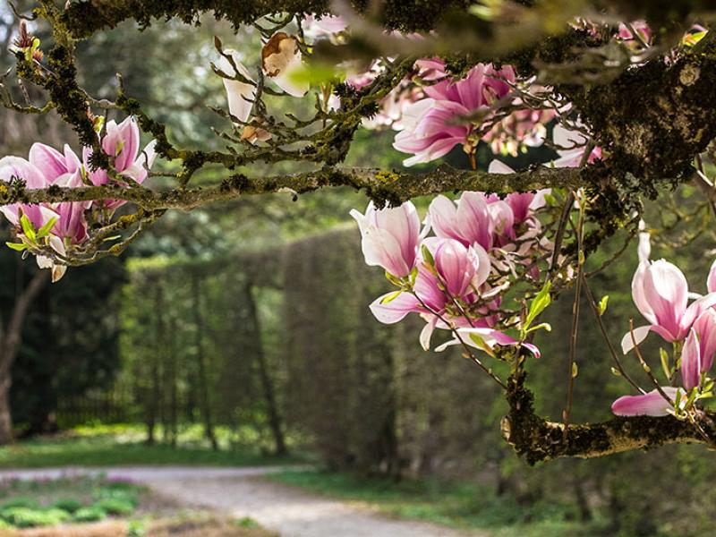 Der großer Magnolienbaum blüht meist ab April.