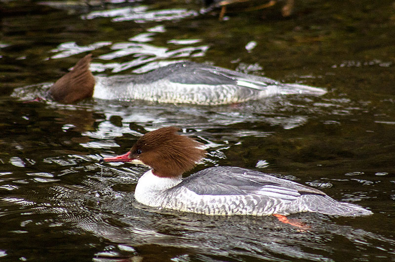 Die Gänsesäger (Mergus merganser) brüten im Nymphenburger Park. An Grösse übertrifft der Gänsesäger alle Schwimm- und Tauchenten.