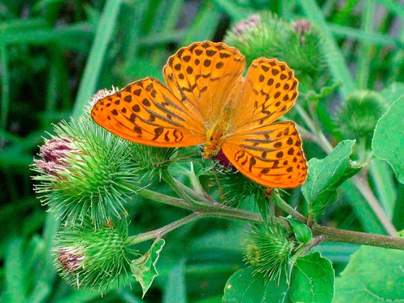 Der Kaisermantel (Argynnis paphia) ist ein großer, braunrot gefärbter Schmetterling mit schwarzen Punkten, er lebt in Mischwäldern mit Veilchenbeständen. Foto: Wikipedia, Rufus46