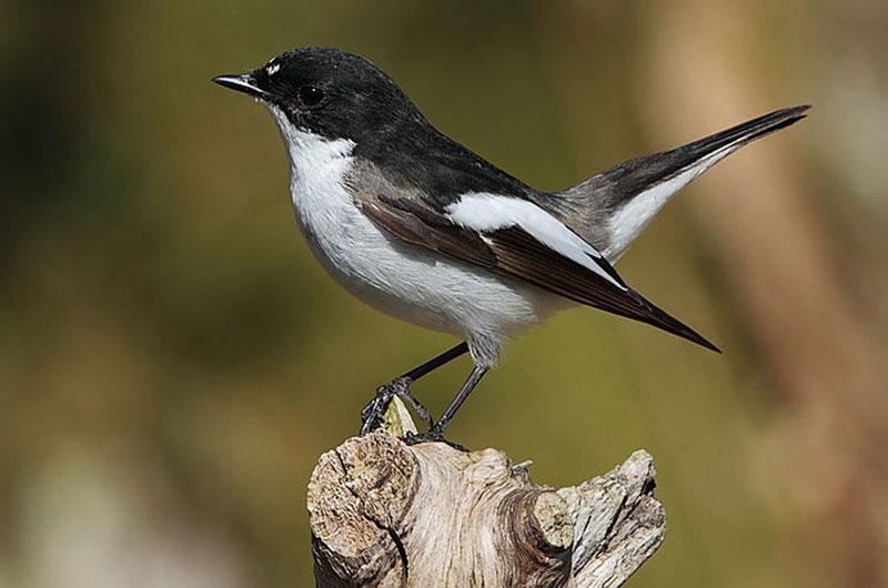 Der Trauerschnäpper (Ficedula hypoleuca) ist ein Zugvogel aus Afrika, zum Nisten bevorzugt er Baumhöhlen. Ab April bis September ist er im Park zu sehen. Foto: Wikipedia, Marton-Berntsen