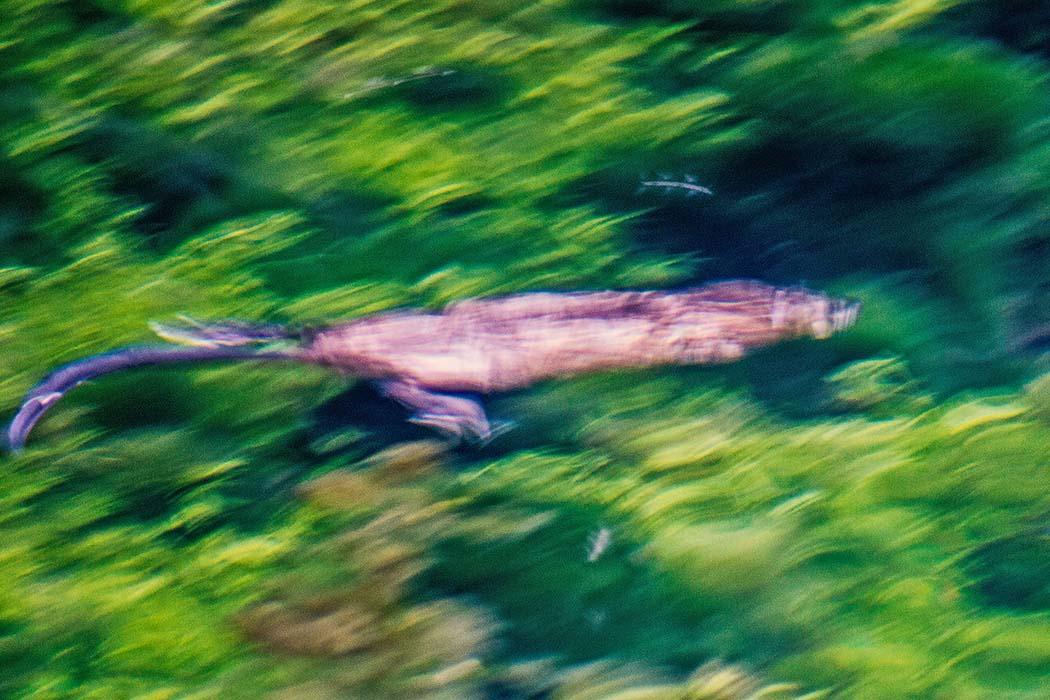 reise-zikaden.de, Der Blautopf in Blaubeuren und die Höhlen der Neandertaler, blautopf, nutria An manchen Tagen soll die Wassernixe im Blautopf beim Schwimmen zu sehen sein. Oder ist es doch eine Nutria (Myocastor coypus) die durch den Quelltopf flitzt? Foto: Reise-Zikaden, M. Hoffmann