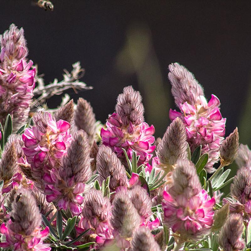 Eine Biene im Anflug auf eine unbekannte Blumenschönheit.
