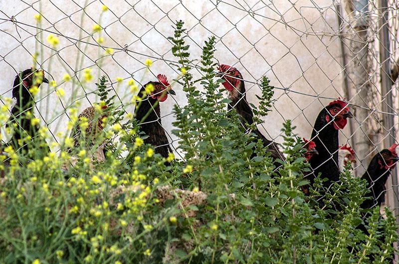 Die Kloster-Hühner sind Fototermine nicht gewöhnt...