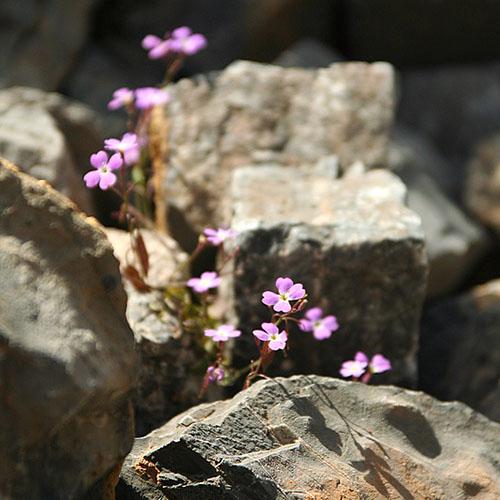 """Kreta, Perivolakia-Schlucht, Ricotia cretica - Die rosablühende Wildblume heißt """"Ricotia cretica"""" und ist endemisch auf Kreta. In der Perivolakia-Schlucht ist sie häufig zu sehen."""