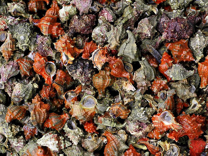 Purpurschnecken, Hexaplex trunculus. Foto: Wikipedia, Hans Hillewaert - Die Gehäuse der Purpurschnecken (Hexaplex trunculus) liegen überall auf der Insel Koufonisi verstreut. Foto: Wikipedia, Hans Hillewaert