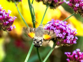 Das Taubenschwänzchen (Macroglossum stellatarum) wird auch Kolibrischwärmer genannt.