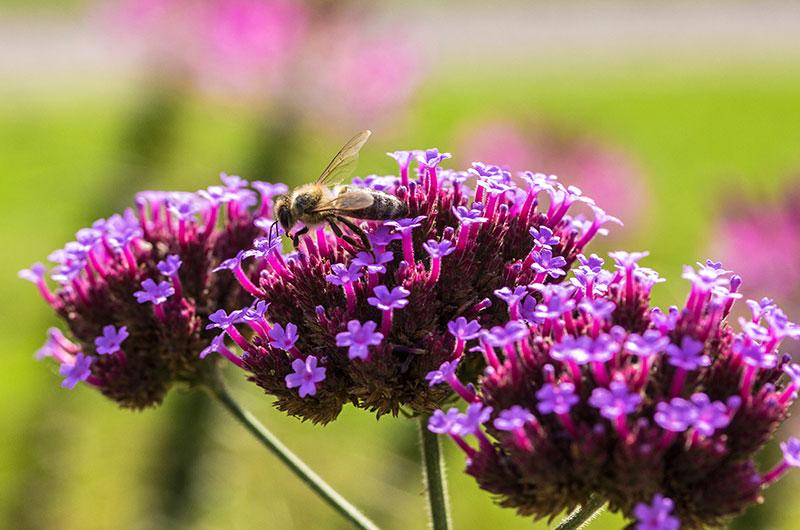 Bei milden Herbstwetter wird noch fleißig gesammelt und auch Pollen eingetragen.