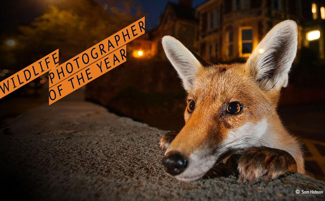 """Das Plakat zeigt einen jungen Fuchs in der britischen Stadt Bristol. Das Motiv aus der Foto-Ausstellung """"Wildlife Photographer of the Year 2016"""" ist überall in München zu sehen. Foto: """"Nosy Neighbour"""" von Sam Hobson (UK)"""