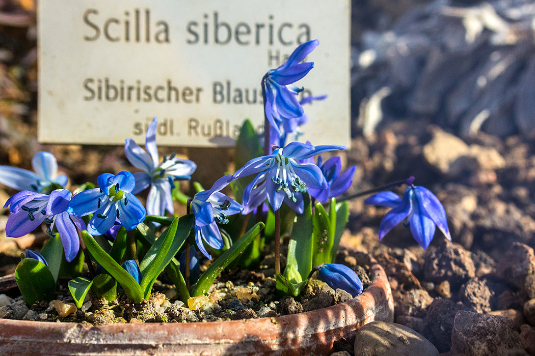 Ausflugsziele in München und Umgebung Im Alpinenhaus des Botanischen Gartens von München haben wir bereits im Februar den leuchtend blauen Sibirischen Blaustern entdeckt.
