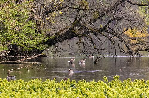 Frühlings-Idylle im Schlosspark Nymhenburg in München: Eine gelbe Blumenwiese, nesterbauende Graugänse und dazu das erste Grün an den Bäumen.