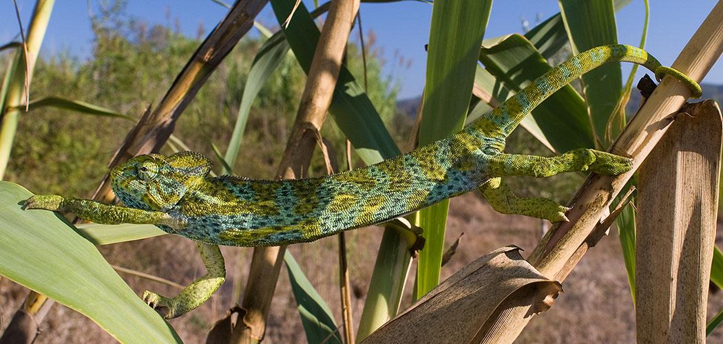 Das Basiliskenchamäleon (Chamaeleo africanus) wird etwa 35 cm lang. Es sitzt meist in dichten Büschen, ernährt sich von Insekten und Spinnen. Foto: Benny Trapp, Wikipedia