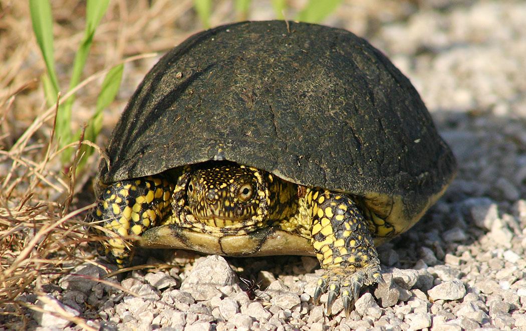 Die Europäische Sumpfschildkröte (Emys orbicularis) ist eine kleine, überwiegend im Wasser lebende Schildkröte. Diese war im trockenen unterwegs, allerdings beäugt sie uns misstrauisch.