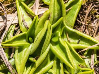 Mesnerbichl: Das Gemeine Fettkraut (Pinguicula vulgaris) ist eine fleischfressende Pflanze. Ab Mai bis August blüht es, mit aus der Mitte der Rosette wachsenden Blütenstielen rosa-violett.
