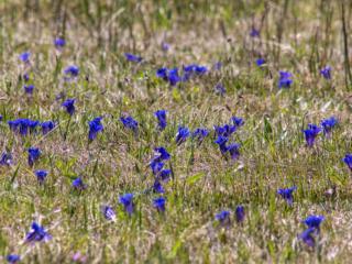 Eine botanische Rarität am Mesnerbichl: Alpenenzian-Wiese.