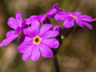Mesnerbichl: Die Rote Lichtnelke (Silene dioica), wird auch Rotes Leimkraut oder Herrgottsblut genannt. In der Volksmedizin wurden die zerstoßenen Samen zur Behandlung von Schlangenbissen eingesetzt.