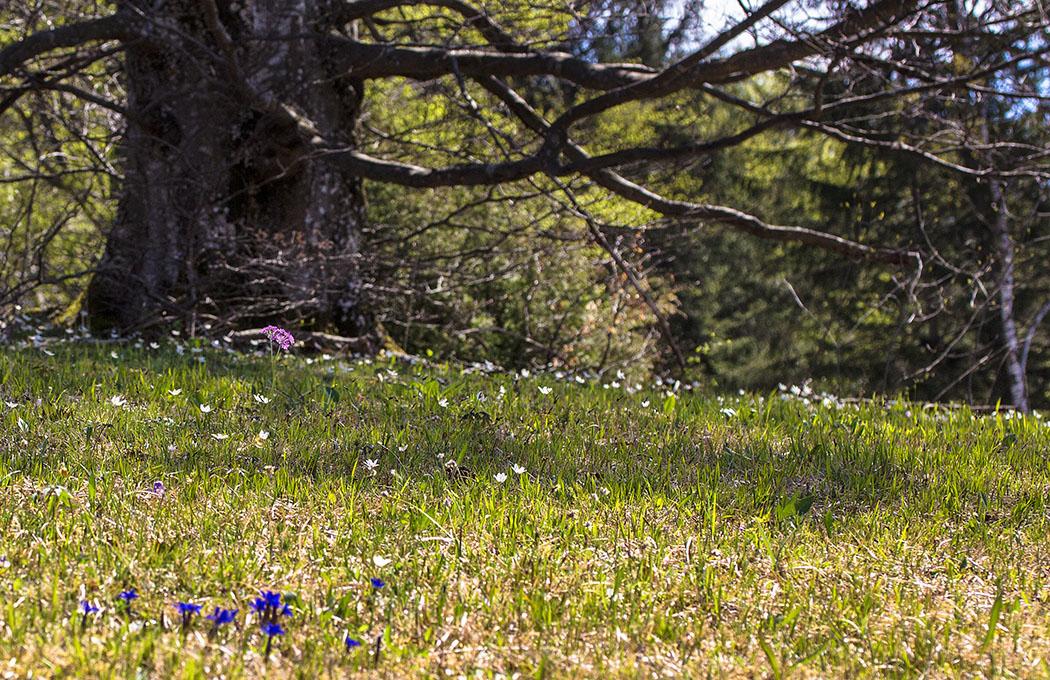 Frühlings Enziane und Buschwindröschen (Anemone nemorosa) finden unter den Laubbäumen des Mesnerbichl perfekte Lebensgedingungen.