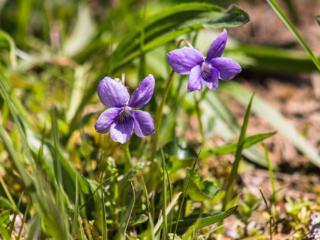 Das Hain-Veilchen (Viola riviniana) blüht von April bis Juni in Laubwäldern, lichten Gebüschen und auf Magerrasen.
