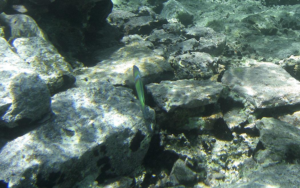 Der farbenprächtige Meerpfau (Thalassoma pavo) ist im Mittelmeer heimisch. Er ist ein emsiger Dauerschwimmer, der seine Umgebung ständig nach Fressbarem durchsucht.