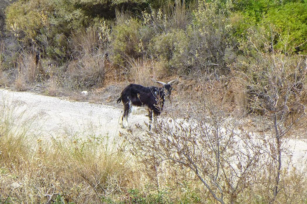 Wir hören eine Ziegenherde können sie aber nicht entdecken, plötzlich steht das Leittier, wie angewurzelt, am Weg und beobachtet uns einige Minuten.