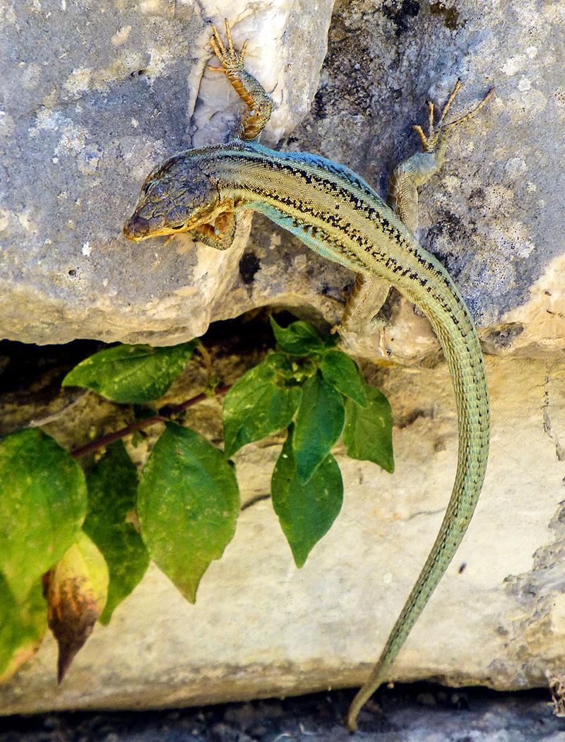 Die Peloponnes-Mauereidechse (Podarcis peloponnesiacus) ist eine große tagaktive Echse, die sich blitzschnell in Mauerritzen versteckt. Die Art badet ausgiebig in der Sonne, klettert gut und frisst Insekten.