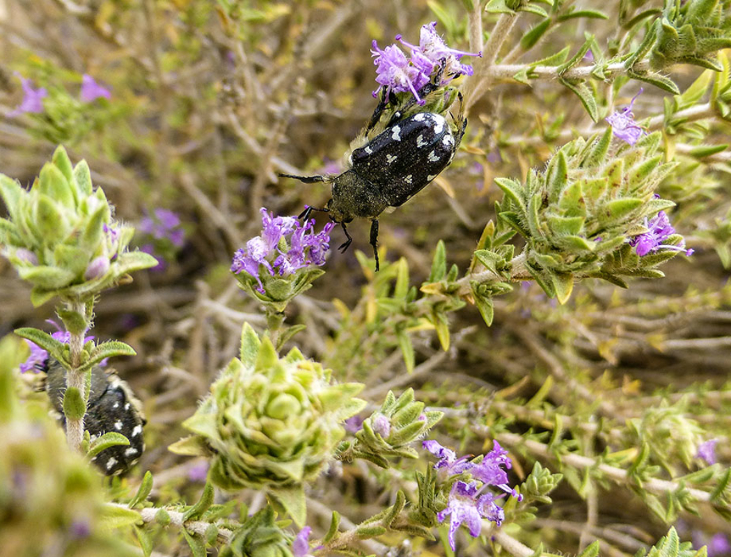 Trauer-Rosenkäfer (Oxythyrea funesta) leben bevorzugt in warmen Ländern. In Deutschland sind sie selten geworden und gelten als gefährdet.