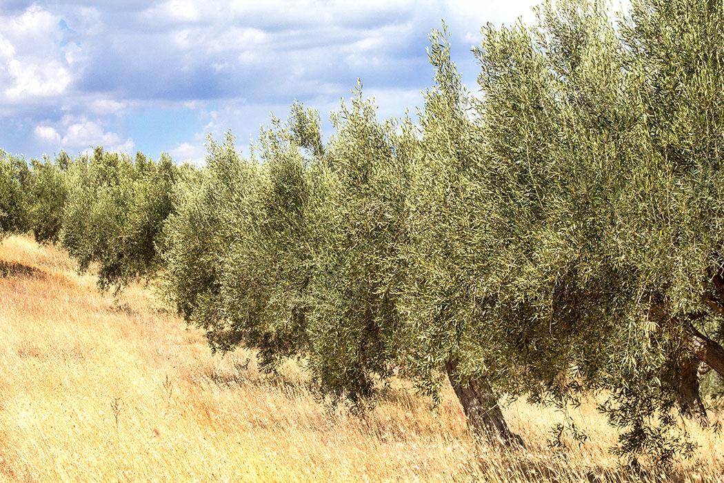 Olivenbäume gelten als Charakterpflanzen der mediterranen Pflanzenwelt. Im antiken Griechenland galt der Ölbaum als heiliger Baum der Göttin Athene.