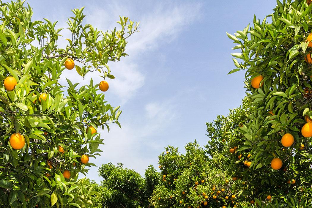 Besonders Orangen werden überall in der Argolis weitläufigen Plantagen angebaut. Die Qualität und süße der Zitrusfrüchte ist für uns unübertroffen.