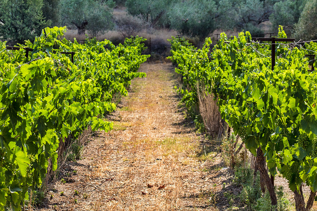 Prachtvolle und gepflegte Weingärten am Panagitsa-Hügel.