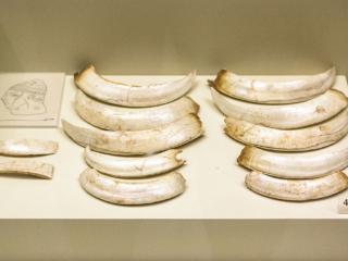 Reste eines Eberzahnhelmes: Diese Eberzähne waren einst auf einer Lederhaube befestigt, deren Innenseite mit Filz gepolstert war.