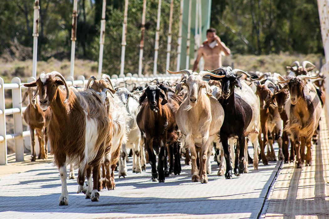 """ithmus corinth korinthia corinth canal Footbridge goats crossing peloponnes greece Die Bogenbrücke für Fußgänger """"Eleftheriou Venizelou"""" wird nicht nur von Fußgängern, sondern auch von Ziegenherden und ihren Hirten genutzt."""