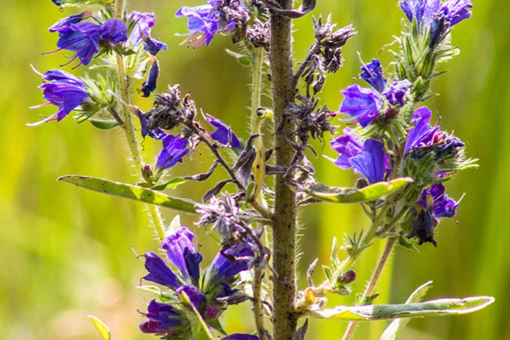 Die Bestäubung vom blauen Natternkopf (Echium vulgare) erfolgt durch Bienen, Schwebfliegen und Falter. Die Blüten vollziehen einen Farbwechsel von rot nach blau. Bienen lernen, dass nur die rosa Blüten reich an Nektar sind.