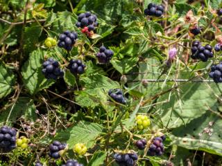 Brombeeren (Rubus sectio Rubus) gehört zur Familie der Rosengewächse (Rosaceae). Brombeer-Früchte eignen sich zum Frischverzehr, als Kuchenbelag oder um Marmelade, Sorbet, Saft, Wein und Likör herzustellen.