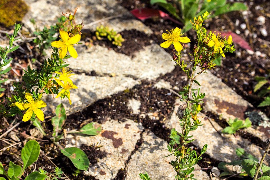 Das Echte Johanniskraut (Hypericum perforatum) ist eine Heilpflanze und wird als Arzneimittel zur Behandlung von depressiven Verstimmungen eingesetzt. Am Boden sind zerborstene Betonplatten erkennbar.