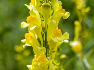 Das Echte Leinkraut (Linaria vulgaris) liebt lockeren, steinigen, sandigen Boden und fühlt sich im Biotop des Neuaubinger Gleislagers besonders wohl.