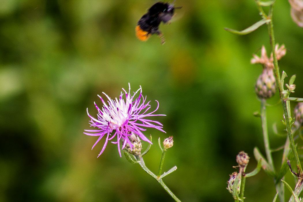 Die Wiesen-Flockenblume (Centaurea jacea) ist bei Bienen, Hummeln, Schmetterlinge und Schwebfliegen beliebt.