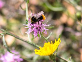 Eine Hummel (Bombus) beim Nektarsammeln auf einer Flockenblume (Centaurea).
