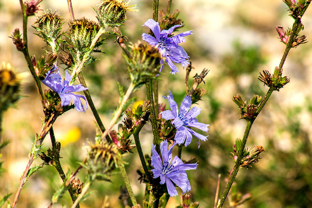 Kornblumen(Cyanus segetum) waren ursprünglich nicht in Mitteleuropa heimisch. Im Neolithikum kam sie als Kulturfolger aus dem östlichen Mittelmeergebiet auch nach Bayern.