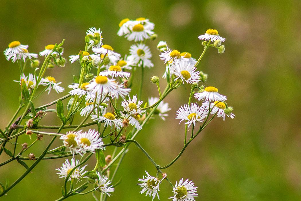 Der Feinstrahl (Erigeron annuus) stammt aus Nordamerika und ist als ehemalige Zierpflanze verwildert.