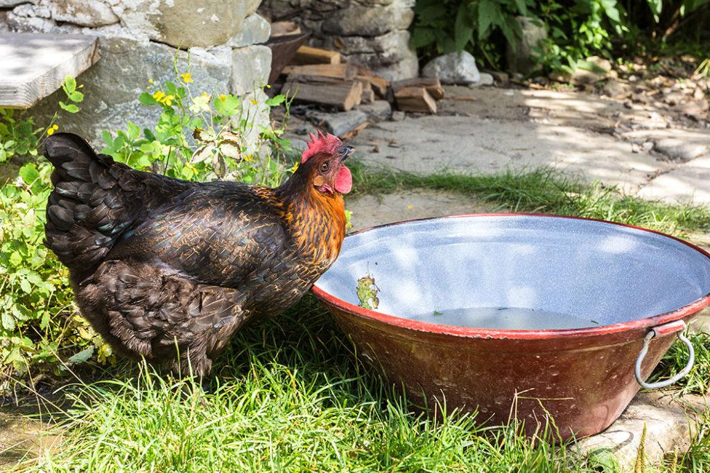 Den Huhn scheint das Badewasser der Enten ausgezeichnet zu schmecken.