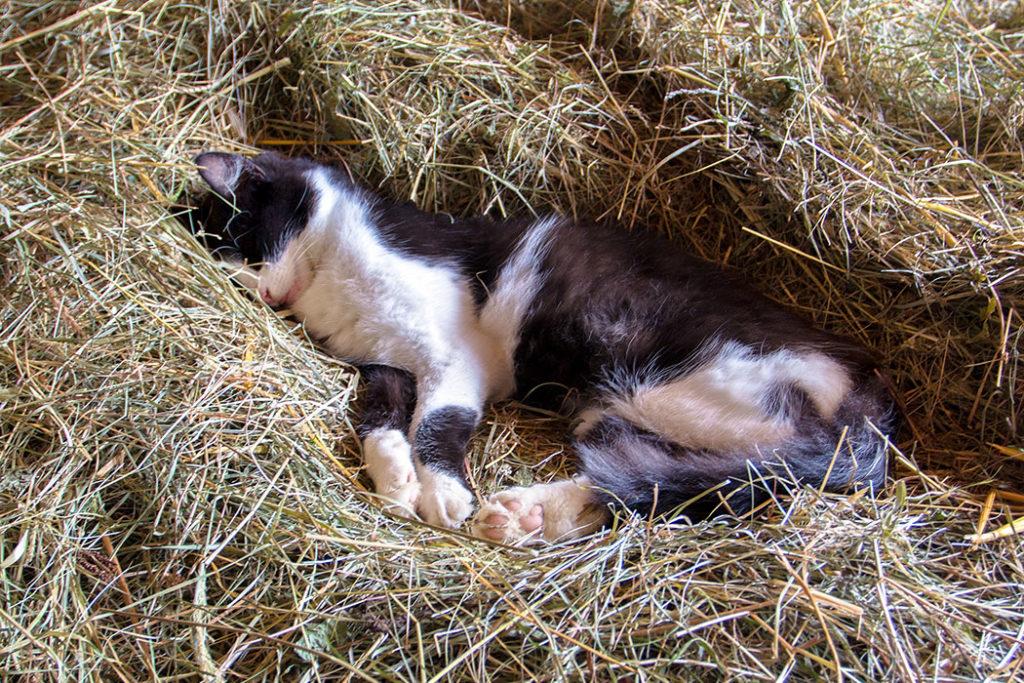 Das Bauernhofkätzchen ist müde von den vielen Kinder die mit ihm gespielt haben und macht eine Pause im Heustadl.